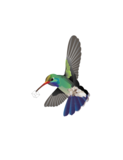 A5 poster kolibrie