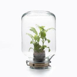 Pikaplant Jar Fittonia albivenis Plantje