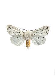 Liljebergs print vlinder Witte Tijger - Spilosoma lubricipeda