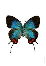 Liljebergs print vlinder Evenus Coronata