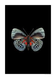 Liljebergs print vlinder Asterope leprieuri, zwart