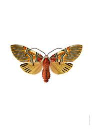 Liljebergs print vlinder Anaxita sannionis