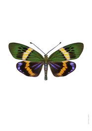 Liljebergs print vlinder Eterusia Repleta