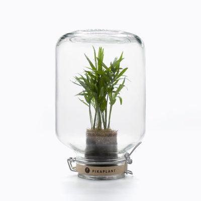 Pikaplant Jar Chamaedorea Elegans Plantje