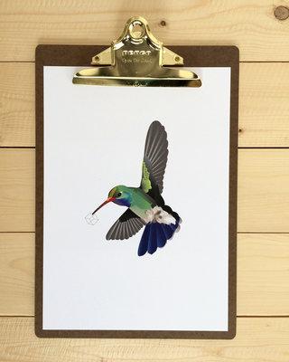 Poster Roosmarijn Knijnenburg - Breedsnavel Kolibri