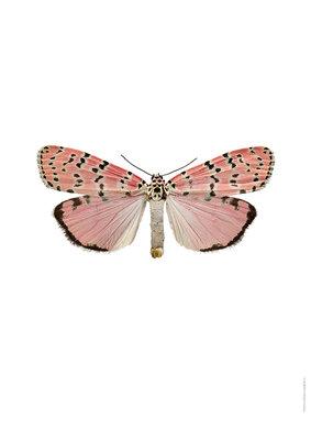 Liljebergs print vlinder Utethesia ornatrix bella