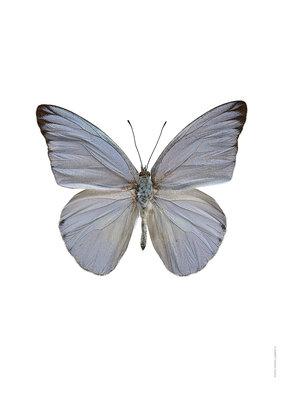 Liljebergs print vlinder Appias celestina