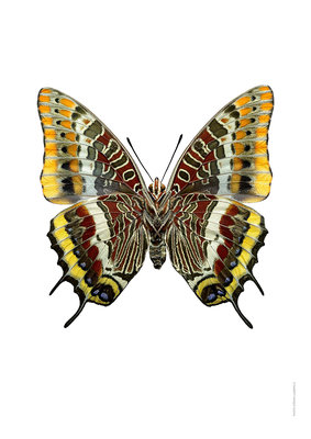Liljebergs print vlinder Charaxes jasius