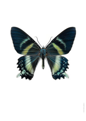 Liljebergs print vlinder Koninginnepage  Alcides orontes