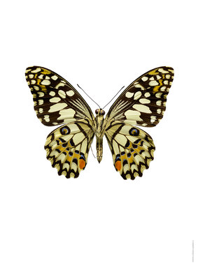 Liljebergs print limoen vlinder Papilio demoleus