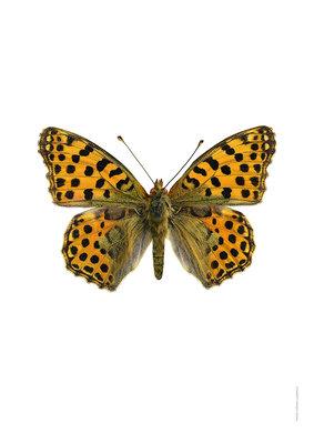 Liljebergs print kleine parelmoer vlinder - Issoria lathonia