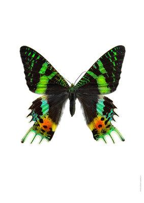 Liljebergs print vlinder Sunset moth - Urania ripheus