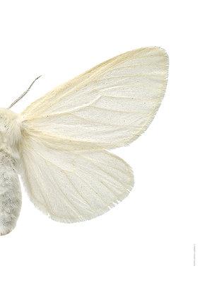 Liljebergs print vlinder Satijn vlinder Leucoma salicis-rechts