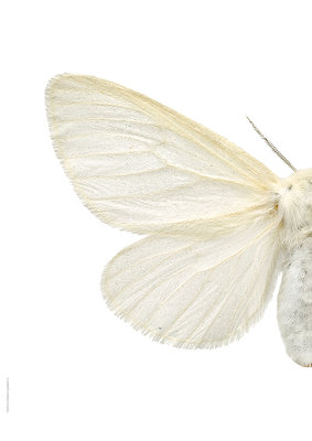 Liljebergs print vlinder Satijn vlinder Leucoma salicis-links