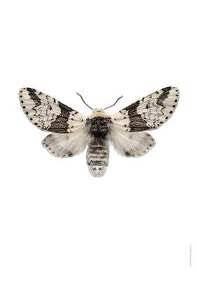 Liljebergs print vlinder Berkenhermelijn vlinder - Farcula bicuspis
