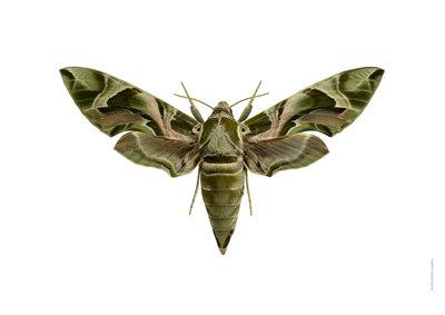 Liljebergs print vlinder Oleander pijlstaart - Daphnis nerii