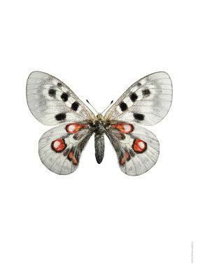 Liljebergs print Apollovlinder - Parnassius apollo wiscotti