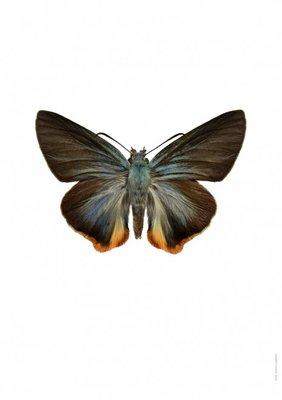 Liljebergs print vlinder dikkopje - Choaspes benjaminii