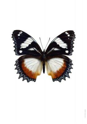 Liljebergs print vlinder  - Hypolimnas dexithea
