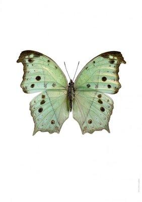 Liljebergs print vlinder  - Salamis parhassus groen