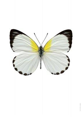 Liljebergs print vlinder - Appias sylvia