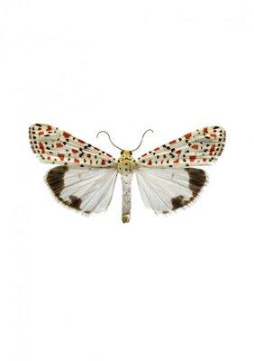 Liljebergs print vlinder Prachtbeer  - Utetheisa pulchella