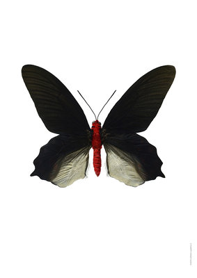 Liljebergs print vlinder - Atrophaneura semperi albofasciata