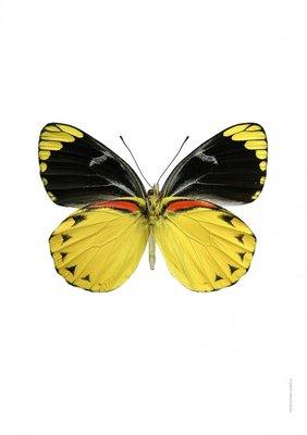Liljebergs print vlinder - Delias splendida