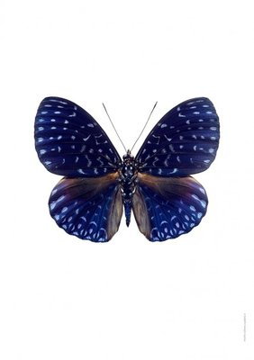 Liljebergs print vlinder - Hamadryas velutina