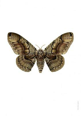 Liljebergs print nachtvlinder - Brahmae wallichii - herfstspinner