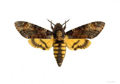Liljebergs print vlinder Doodshoofdvlinder