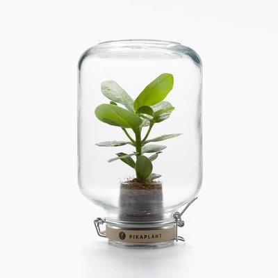 Pikaplant Jar Clusia Rosea Plantje