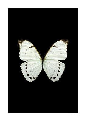 Liljebergs print vlinder Morpho luna, zwart