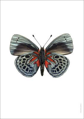 Liljebergs print vlinder Asterope leprieuri
