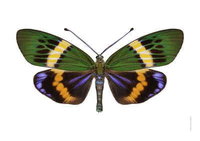 Liljebergs print vlinder Eterusia Repleta, landscape