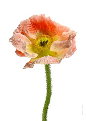 Liljebergs print papaver roze