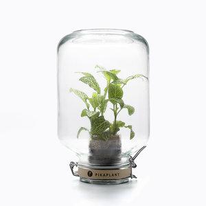 pikaplant jar Fittonia albivenis