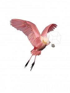 Roze lepelaar A5