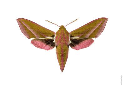 Liljebergs Avond rood nachtvlinder deilephila elpenor