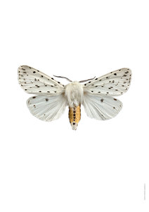 Liljebergs witte tijgervlinder