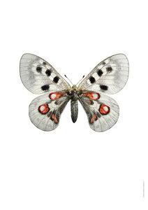 Liljebergs Print Apollo vlinder