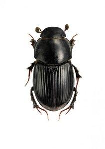 Liljebergs print Aphodius depressus dung beetle