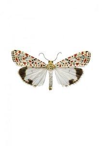 Liljebergs print vlinder Utetheisa pulchella