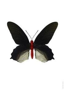Liljebergs vlinder Atrophaneura semperi albofasciata