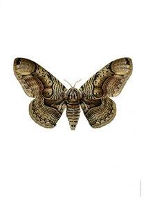 Liljebergs print vlinder brahmaea wallichii owl moth