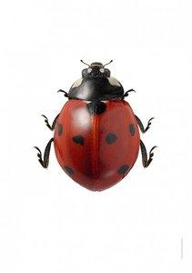Liljebergs coccinella septempunctata ladybug