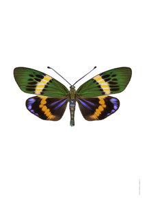 Liljebergs print vlinder Eterusia Repleta A4