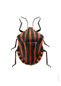 Liljebergs print striped beetle A4